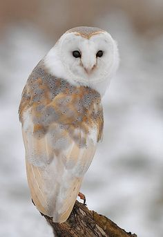 Winter Barn Owl by barnowlcentre     From redbubble     via Bev Murphy