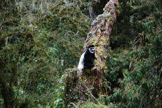 Colobus monkey, Marangu Route day 1