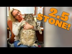 Meatball The Massive Moggy: 2.5 Stone (36 pound) Cat On Road To Recovery - YouTube / VIDEO  / #Cat #Cats #Animal