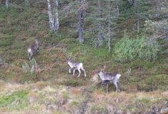 Reindeers leaving the traffic circle - Porot poistuvat liikenneympyrästä | Saariselkä, Finland. Kuva: Saariselän mökit ja ohjelmapalvelut