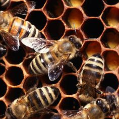 Top 10 Fascinating Facts about Bees - The honey bee is the only most intelligent and hard-working insect that helps human to fulfill his needs. Getting Rid Of Bees, Wasp Repellent, Worker Bee, Propolis, Bee Skep, Real Estate Tips, Save The Bees, Busy Bee, Bee Happy