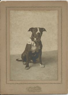 c.1900 cabinet card of pit bull with large bow attached to his studded collar. Photo by Webster of Waltham, Mass. From bendale collection