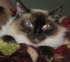 Grace is an adoptable Balinese Cat in Williamsburg, VA. Grace is a stunning seal/chocolate point Balinese/long-haired Siamese female kitten, about 8 months old. She has beautiful long fur, chocolate p...