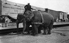 Two Harness Bulls getting ready to unload the rigs from the train cars of Ringling Bros. Circus Train, Circus Theme, Circus Room, Circus Circus, Ringling Brothers Circus, Barnum Bailey Circus, Circo Vintage, Human Oddities, Circus Performers