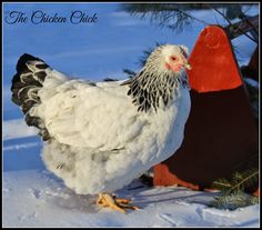 Tips To Stop Chickens From Pecking One Another – Chicken In The Shadows Chicken Chick, Chicken Lady, Starting A Farm, Chicken Breeds, Chicken Coops, Hobby Farms, Raising Chickens, Hens, Flocking