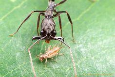 Trap-Jaw Ants - alexwild