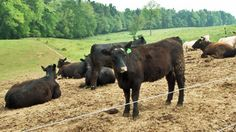 Raising Cows for Beef: Inside a Certified Angus Beef Farm