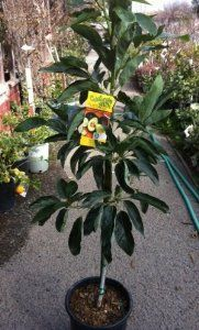 Hass Avocado Tree--Will Arrive Between 3 and 4 Feet Tall by LaVerne Nursery. $24.99. Protect tree from severe frost. Plant avocado trees in containers in severe winter climates so you can move tree to protection.. Hass avocado produces very tasty, purplish black colored fruit April to Oct.. Shipped potted in soil to ensure the best possible start when planted in yard or garden. Box size 5 feet tall.. Great in salads, tacos, and for guacamole. Avocados like loose, r...