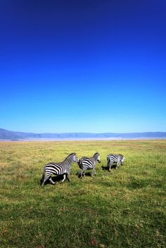 Zebra  - Explore the World with Travel Nerd Nici, one Country at a Time. http://TravelNerdNici.com