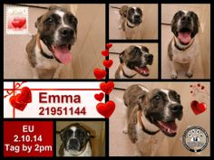 Lovables: Emma has been given a reprieve but tomorrow is her last day. *EUTHANASIA LIST 02/12/14 MUST BE TAGGED BY 2 PM!**VIP REDUCED ADOPTION FEE $25.00* EMMA*URGENT-HEARTWORM + BUT FULLY SPONSORED. *DH217 ID21951144. 2 YR. OLD BOXER TERRIER/AMERICAN PIT BULL MIX, UNALT FEMALE. Arlington Animal Services, 1000 SE Green Oaks, Arlington, Texas 76018. https://www.facebook.com/photo.php?fbid=637196702983728&set=a.344393052264096.72087.234124973290905&type=1&theater&notif_t=like