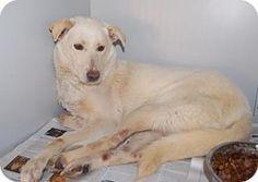 Brooklyn, NY - Shepherd (Unknown Type) Mix. Meet Belochka, a dog for adoption. http://www.adoptapet.com/pet/15154112-brooklyn-new-york-shepherd-unknown-type-mix