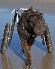 "Wheelchairs for Handicapped Dogs | Hand Built Quality by Ruff Rollin | ""Bean"" Shar-Pei"
