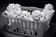 Basket of cuteness! 7 & 8 week old Maltese puppies Yorkies, Havanese Puppies, Yorkshire Terrier Puppies, Teacup Puppies, Toy Puppies, Maltese Dogs, Little Puppies, Little Dogs, Cute Puppies