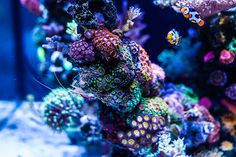 Aquarium husbandry can be define as the care of an aquarium. Here are 20 steps you can take to improve your aquarium husbandry for your aquarium at home. Coral Reef Aquarium, Nano Aquarium, Aquarium Design, Marine Aquarium, Saltwater Tank, Saltwater Aquarium, Nano Reef Tank, Reef Tanks, Fish Tanks