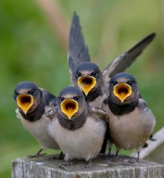 Barn Swallows party of four