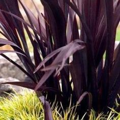 Plant photo of phormium tenax rubrum new zealand flax full sun image from httpss media cache ak0pinimg thecheapjerseys Gallery