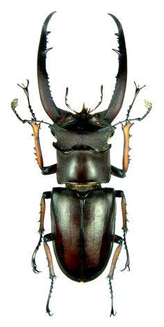 Lucanus angusticollis