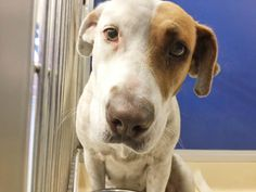 One of the most recent arrivals to the Miami-Dade Animal Care Center, is a young Lab named Momo. Today she still shivers in fear. Less than a week ago, she had been curled up on the couch at home, but today is a different and much more tragic story. Today she visually shakes in her …