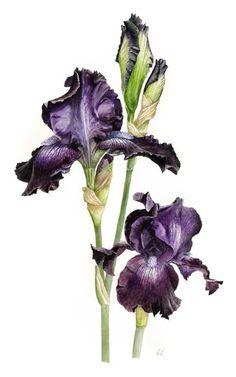 workshop - Botanical Illustration - Roger Reynolds, Hertfordshire