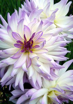 ~~Lavender Chiffon Dahlia~~