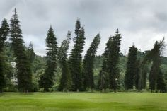 """Trees sinking into thawing permafrost are called """"drunken forests"""" in Alaska."""