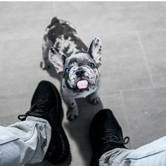 17 Best ideas about Merle French Bulldog on Pinterest
