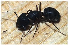 It is necessary to remove carpenter ants from your house before the problem gets worse. Hire ant pest control in Edmonton to get rid out of them. All you need to do is, just ring us at 780-448-2661 or request a quote at http://www.ecopest.ca/contact-us/