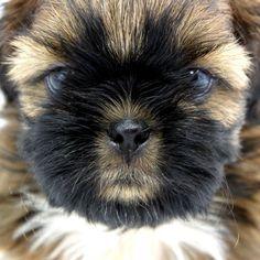 34 Best Shih Tzu Mania Images Shih Tzus Puppy Love Dogs