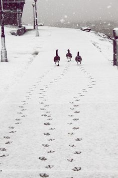 Three geese taking a stroll in freshly fallen snow.
