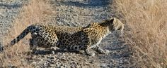 leopard hunting while on safari at Sabi Sabi Private Game Reserve