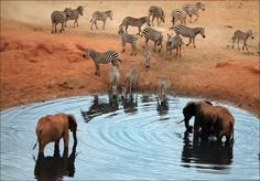Zebras & elephants at lake