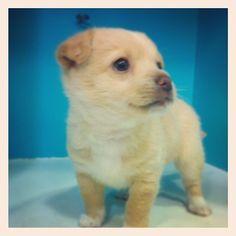 Baby Salsa! #minidog #babydog #srcaoedonagata #puppy