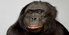Kanzi the Bonobo Chimpanzee