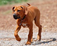 Rhodesian ridgeback - what a sweet pup. I bet that's a BIG dog now!