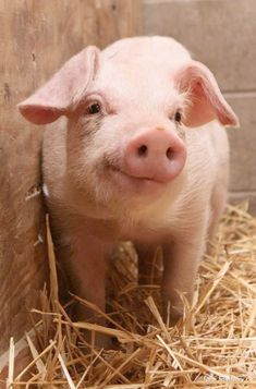 Pigs are sensitive inquisitive creatures and have been proven to be more intelligent than most dogs and 3 year old children!