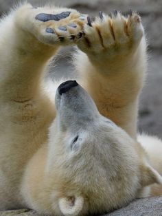 Best Polar Bear Photos You Never Seen Before - Animals Comparison Nature Animals, Animals And Pets, Baby Animals, Funny Animals, Cute Animals, Wild Animals, Baby Giraffes, Beautiful Creatures, Animals Beautiful