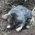 Moles: How to Identify and Eliminate Pests in the Garden Moles Moles are ground–dwelling carnivores that prefer to eat insects instead of your garden plants. However, their underground tunnels can ruin your garden and lawn and make an easy access to your plants for other rodents.