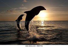 Bottlenose Dolphins at sunset, Honduras - Stock Image