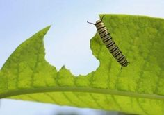 How to Make Caterpillar Repellent  - made out of orange peels LOVE IT!!!!