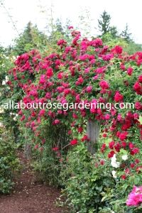 These beautiful red climbing roses are easy to grow! Learn the secrets to growing them in YOUR garden!
