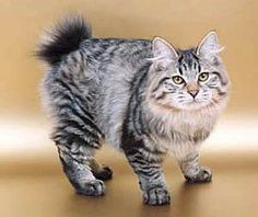 Kurilian Bobtail, breed of cat from the Kuril Islands, claimed by both Russia and Japan. All Cat Breeds, American Bobtail Cat, Jellicle Cats, Purebred Cats, Manx Cat, Exotic Cats, Here Kitty Kitty, Kitty Cats, Cute Cats And Kittens