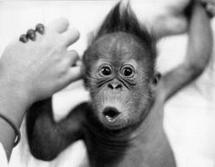 Browse baby monkey pictures, photos, images, GIFs, and videos on Photobucket Cute Baby Monkey, Cute Baby Animals, Funny Animals, Monkey Baby, Zoo Animals, Wild Animals, Monkey Pictures, Animal Pictures, Pictures Images