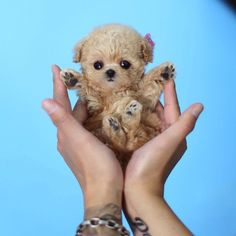 Teacup Puppy Breeds, Yorkie Poo Puppies, Teacup Poodle Puppies, Micro Teacup Puppies, Mini Poodle Puppy, Poodle Puppies For Sale, Tea Cup Poodle, Teacup Dogs, Lab Puppies