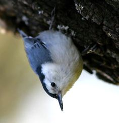 lucky to have a nuthatch around lately