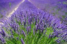 lavender - Google Search Lavender Uses, Growing Lavender, Lavender Fields, Lavender Flowers, Purple Flowers, Lavender Scent, Rose Flowers, Gaura, Old Farmers Almanac