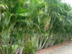 Golden cane palms will be used to screen the back fence. will need aprox 1 pot per meter. Palm Trees Garden, Palm Trees Landscaping, Florida Landscaping, Tropical Landscaping, Landscaping With Rocks, Backyard Landscaping, Tropical Gardens, Hedges, Florida Trees