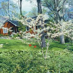 White redbud. Latin name: Cercis canadensis 'Alba'. Zones 5-8. Learn more here http://www.finegardening.com/plantguide/cercis-canadensis-alba-white-redbud.aspx