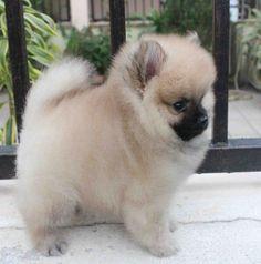 Full-Grown Teacup Pomeranian | Micro Teacup Pomeranian Full Grown