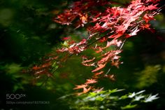 Autumn leaves by MasashiYanase. @go4fotos