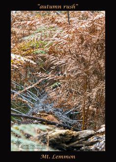 """Autumn Rush"" - Mt. Lemmon ©R.C. Clark: Dancing Snake Nature Photography All rights reserved #arizona, #nature, #photography, #dancingsnakenaturephotography, #flowers, #fauna, #AutumnLeaf, #MtLemmon"